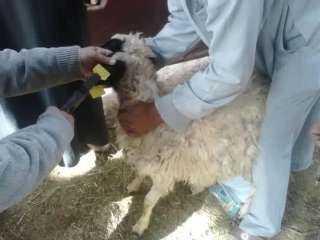 تحصين اكثر من ٢ مليون راس ماشية ضد مرض الحمى القلاعية