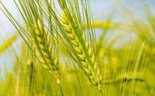 """""""بحوث الصحراء"""" يوزع تقاوى القمح مجانا لزراعة حقول ارشادية في سيوة"""