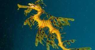 ما هو تنين البحر ولماذا مهدد بالانقراض.. صور