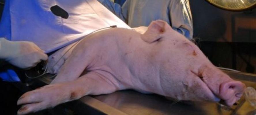 الجارديان تكشف تجربة نقل كلية خنزير إلى جسم إنسان